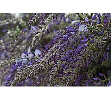 wisteria blooming Photographic Print