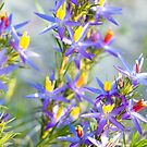 Blue Tinsel Lily (Calectasia grandiflora) by Kell Jeater