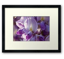 wisteria blooming Framed Print