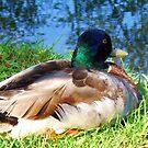 Mallard Duck by schiabor