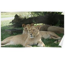 Restful Lioness Poster