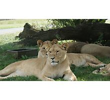 Restful Lioness Photographic Print
