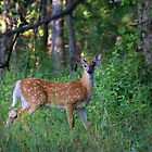 White-tailed Fawn by Jim Cumming