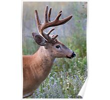 White-tailed deer Buck Poster