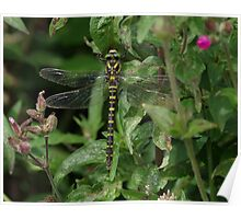 Golden Ringed Dragonfly at Gwithian Nature Reserve in Cornwall. Poster