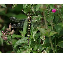Golden Ringed Dragonfly at Gwithian Nature Reserve in Cornwall. Photographic Print