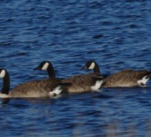 Canada Geese on the lake. Sticker