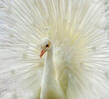 The White Peacock by RickDavis
