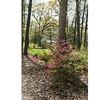 Azaleas in the Country Photographic Print