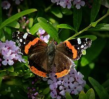 Red Admiral's Display by missmoneypenny