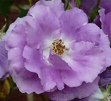 Lilac coloured rose by g369