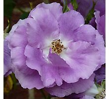 Lilac coloured rose Photographic Print