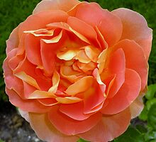 Orange coloured rose by g369