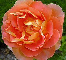 Orange coloured rose by g369