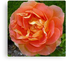 Orange coloured rose Canvas Print