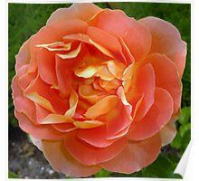 Orange coloured rose Poster