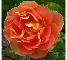 Peachy coloured rose Photographic Print