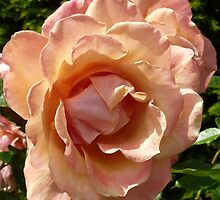 Pink rose by g369