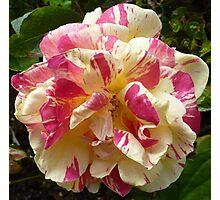 Raspberry Ripple Rose Photographic Print