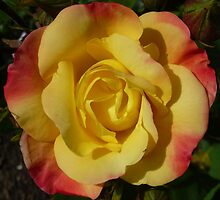 Yellow and Pink Rose by g369