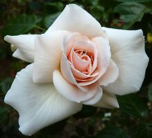 Palest Pink Rose by g369