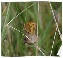 Gatekeeper Butterflies mating at Gwithian Nature Reserve in Cornwall. Poster