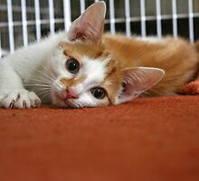 Ginger & White Kitten II by GreyFeatherPhot