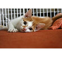 Ginger & White Kitten II Photographic Print
