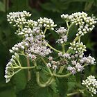Boneset by Linda  Makiej Photography