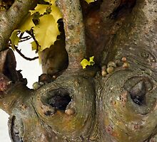 Gnarled Trunk of Ancient Holly Tree 3 by lynn carter