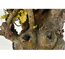 Gnarled Trunk of Ancient Holly Tree 3 Photographic Print