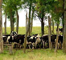 Cows by Jsrosephotos