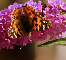 Summer's end : Painted Lady in England by Ian Alex Blease