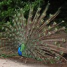 Male Peacock.... by DonnaMoore