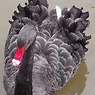 Black Swan by Glenn Esau