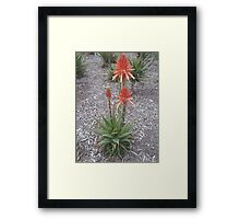 Red Hot Poker, Flagstaff Gardens Framed Print