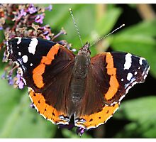 Red Admiral butterfly  111 Photographic Print