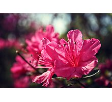 Close Up of Cool Azaleas Photographic Print