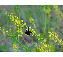 Bumble Bee on Flower Photographic Print