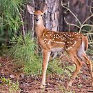 Fawn in August by Bonnie T.  Barry