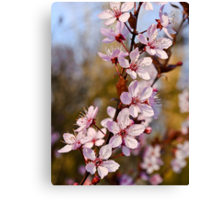 Almond Blossoms in Spring Canvas Print