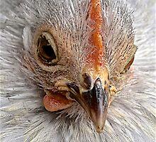 Hen by John Thurgood