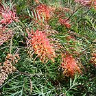 Grevilleas_Kings Park_Perth_WA_Australia by Kay Cunningham