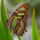 Green Butterfly -Amazon Basin - about hand-sized by David Galson