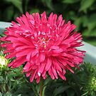 Red Aster by BlueMoonRose
