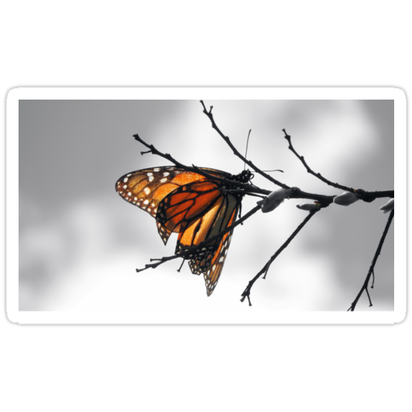 MONARCH BUTTERFLY SURROUNDED IN GRAY SCALE by Sandra  Aguirre