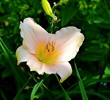 Daylily Series - No.5 by Carol Clifford