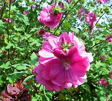 Rose of Sharon by MidnightMelody