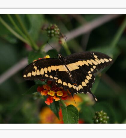 Giant Swallowtail Butterfly The Back Sticker