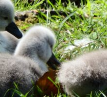 Cygnets at Tehidy Woods in Cornwall. Sticker